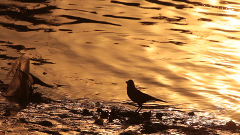 crows for water Footage