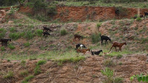 Goats at rural area Footage