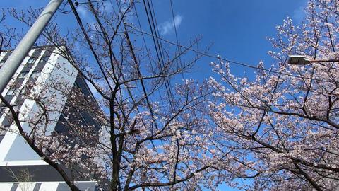 Sakura tree, passing ビデオ