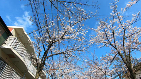 Cherry tree in the town ビデオ