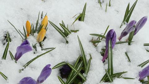 Crocus first spring flowers Footage