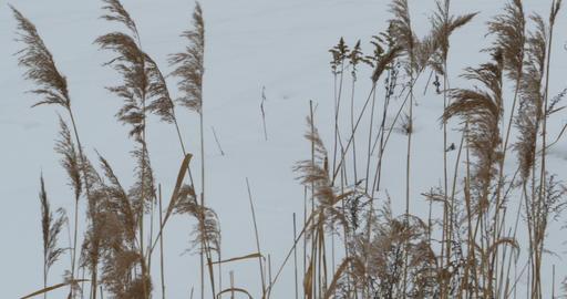 Winter cattail wind Footage