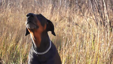 Dog Doberman barks in nature Footage