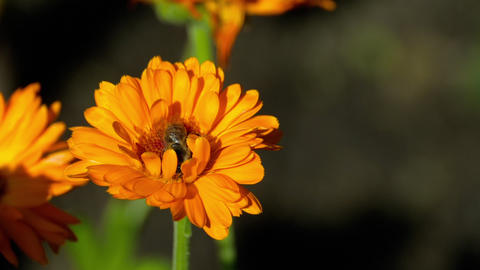 Bee on a orange marigold Footage