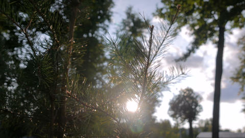 Fir branches spruce and sun lens flares - nature background Footage
