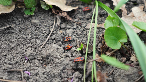 Orange bugs on the ground walking on the soil Live Action