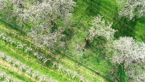 Cherry blossom in early spring ビデオ