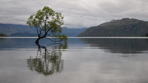 The most famous New Zealand tree - Wanaka Tree - in a... Stock Video Footage