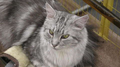 Cat breed Siberian cat Live Action