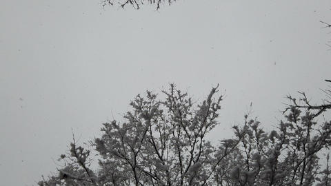 Snow falling with snow on branches of tree in winter Footage