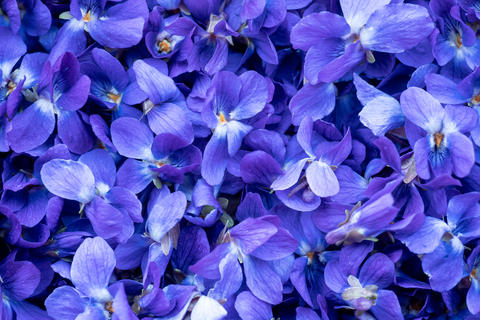 Flower Background - macro image of spring violet flowers Fotografía