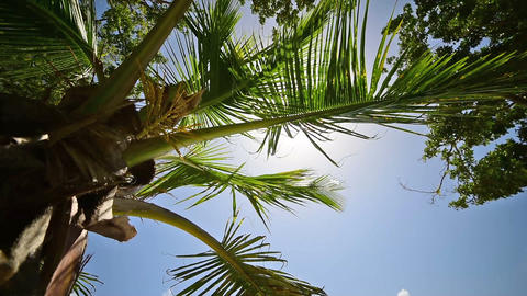 Coconut palm tree in the Caribbean under a shining sun Footage