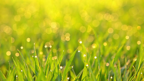 Dew on the Grass in the Sun Rays. Seamless Loop Live Action