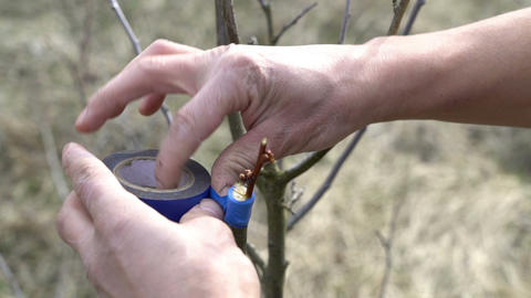 Closeup of farmer man grafting implanting a tree Footage