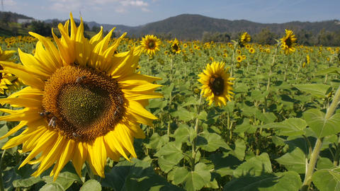 Flower head of the sunflower with bees. Sunflower plantation Live Action