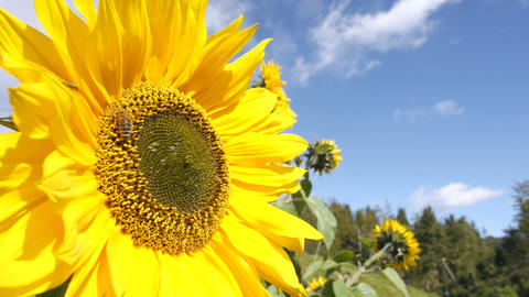 Bee working on sunflower, blue sky with clouds and sunny weather Live Action