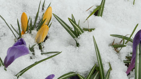 Crocus purple yellow flowers Footage