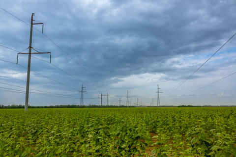 Field of Green Sunflowers and Power Lines Photo