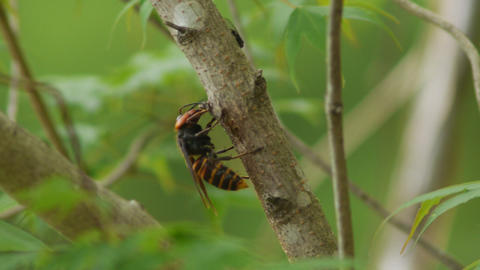 樹液を吸うスズメバチ 動画素材, ムービー映像素材