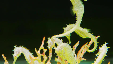 Seahorse form the Andaman sea Live Action