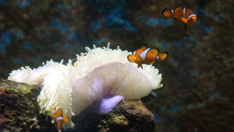 clownfish playing with sea anemone Footage