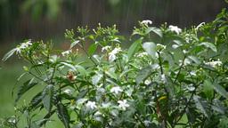 Heavy rain on flower Footage