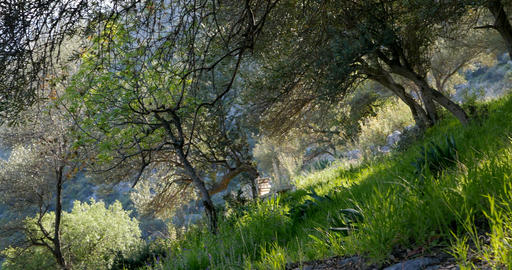 Olive trees in spring time Live Action