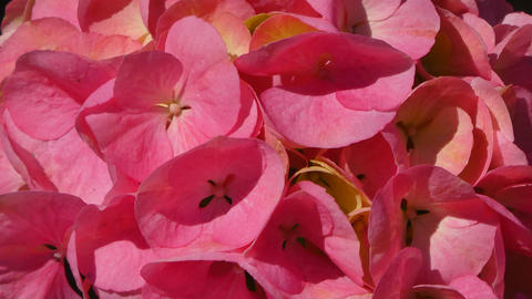 Closeup on pink hydrangea petals in a sunny morning Footage