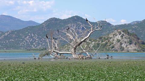 Cormorant birds on Lake Skadar in Montenegro Archivo