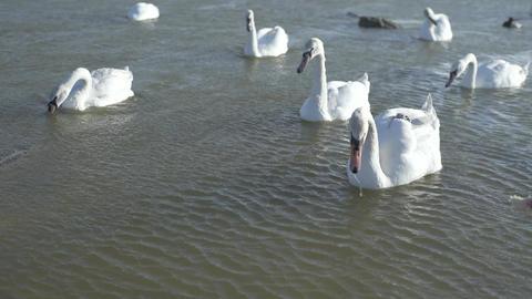 Hand Feeding A Beautiful Swans Footage