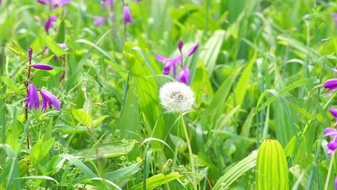 Dandelion fluff that sway in the wind. 風に揺れるタンポポの綿毛 Footage