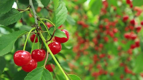 Cherry tree refocus GIF