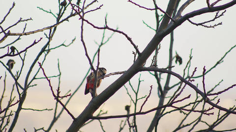 Bird Dendrocoptes, woodpecker perched on tree branch and looking for pests UHD Footage