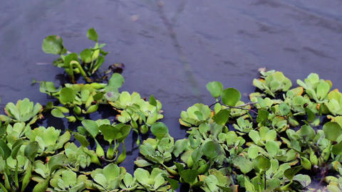 Swamp Water With Aquatic Plants. Close-Up Footage