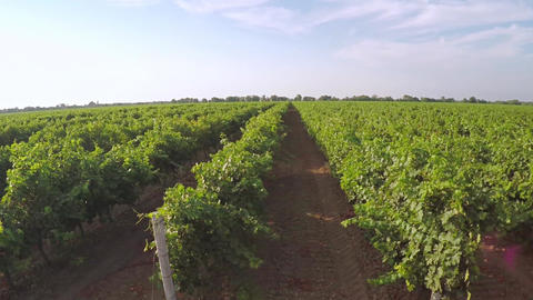 Green Rows of Young Vineyard. Aerial View Archivo