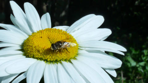 Fly or bottle fly insect sitting on chamomile flower Footage