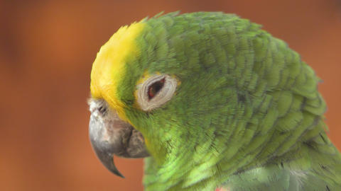 Close up of Yellow crowned amazon parrot. 4k clip Live Action
