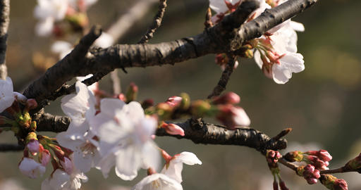 Cherry blossom at the park in Tokyo closeup ビデオ