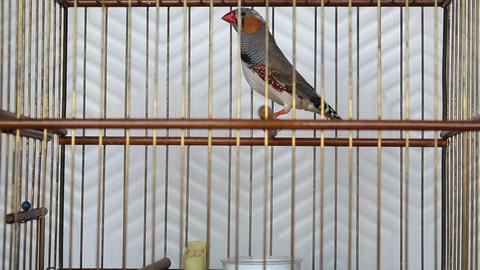 Zebra finch ( Taeniopygia guttata ) bird in wooden bird cage Footage
