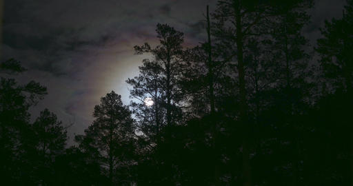 Night mysterious panoramic landscape in cold tones - silhouettes of the spruce Footage