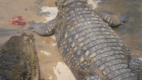 Hungry crocodiles eating meat near the pool Live Action