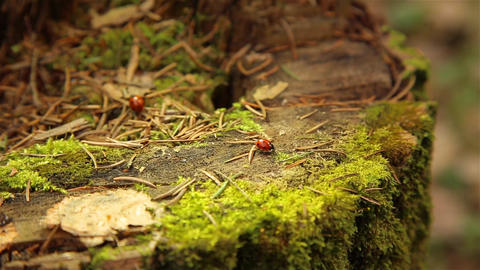 Ladybugs crawling on an old stump covered with green moss in the forest Live Action