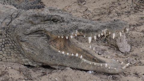 A closeup of a crocodiles head with opened jaws Footage
