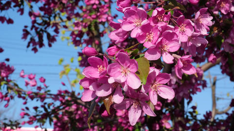 branch of decorative cherry with pink flowers Archivo