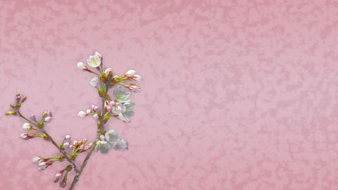 和柄の背景と桜の開花(タイムラプス) CG動画