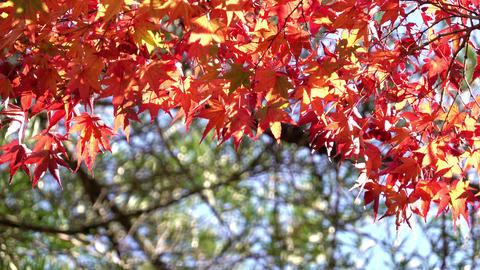 Colorful japanese maple leaves during momiji season at Kinkakuji garden, Kyoto Footage