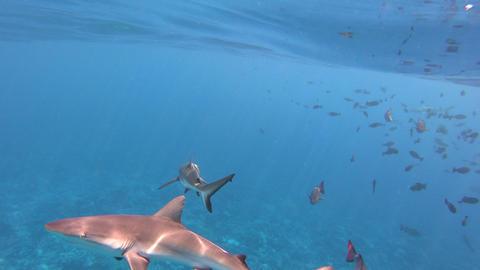 Grey Reef Shark (Carcharhinus amblyrhynchos) swim in French Polynesia, Tahiti Live Action
