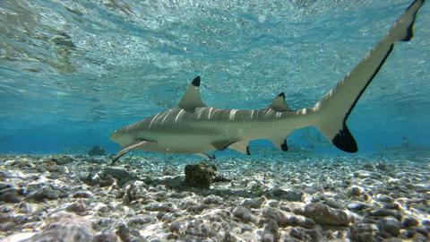 Blacktip Reef Shark (Carcharhinus melanopterus) swim in French Polynesia Tahiti ビデオ