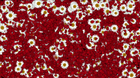 falling rose petals & daisy,wedding... Stock Video Footage