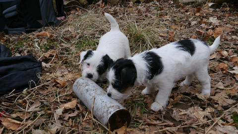 Puppies having fun with a tube and each other Footage